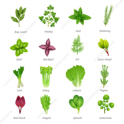 Herbs and leafy vegetables, illustration
