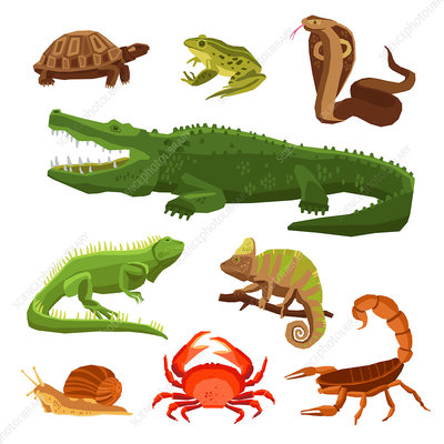 Reptiles and amphibians, illustration