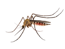 Mosquito, illustration