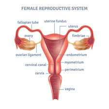 Female reproductive system, illustration