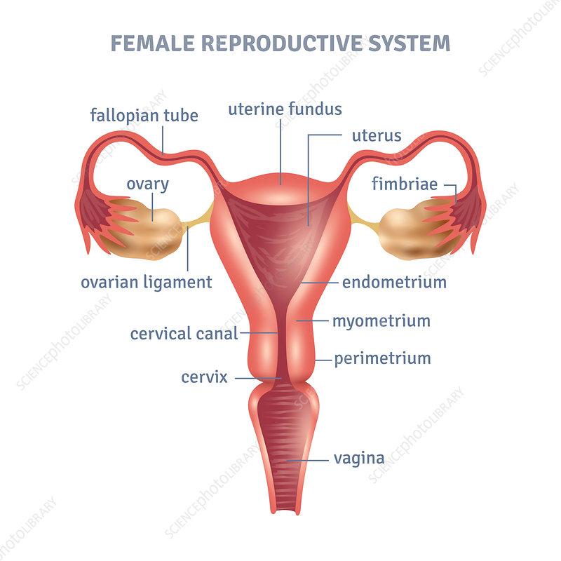 Female Reproductive System Illustration Stock Image F0200722