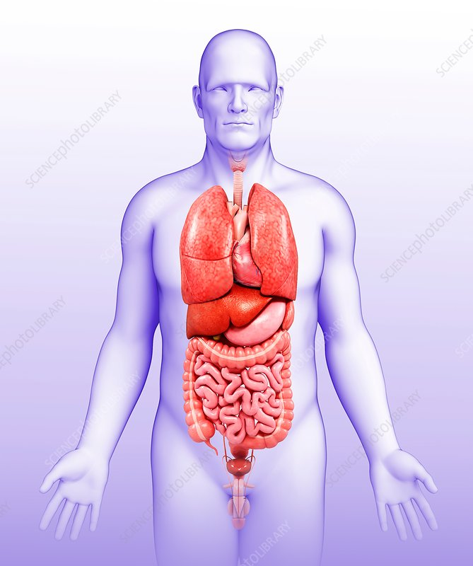 Male body organs, illustration - Stock Image F020/0864 - Science ...