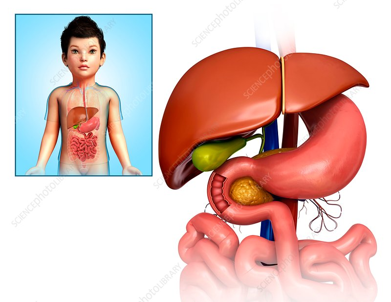 Child's liver, stomach and duodenum, illustration