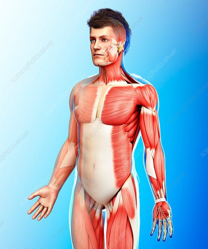 Male muscle anatomy, illustration