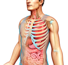 Male skeletal system and body organs, illustration