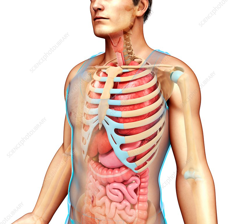 Male skeletal system and body organs, illustration - Stock Image ...