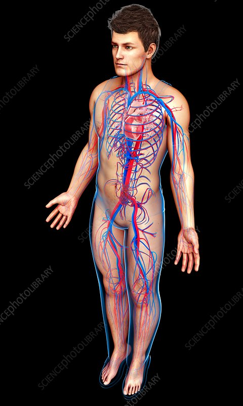 Male heart and circulatory system, illustration