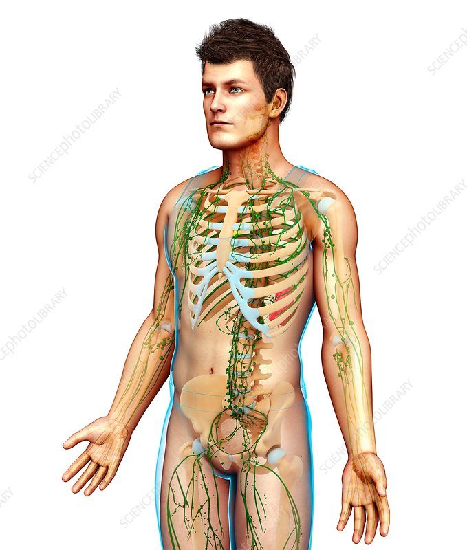 Male skeletal and lymphatic systems, illustration