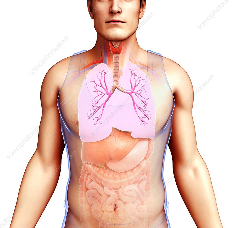 Male bronchi and lungs, illustration