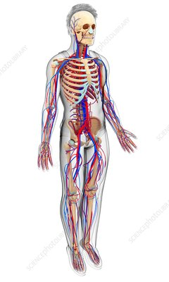 Male circulatory system, illustration