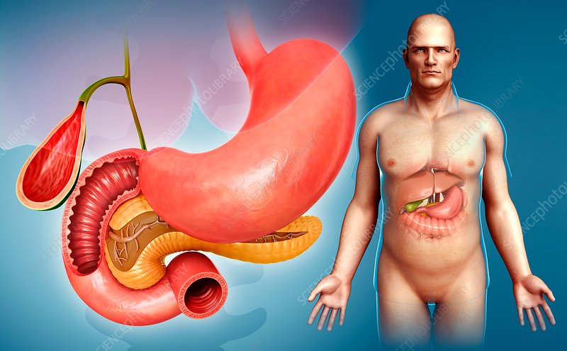 Male digestive system organs, illustration