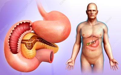 Male stomach, pancreas and duodenum, illustration