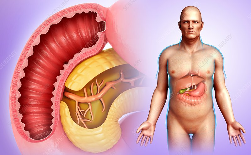 Male pancreas and duodenum, illustration