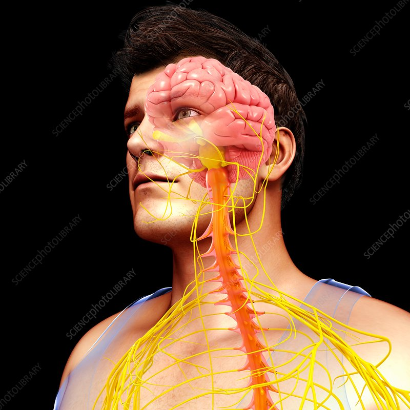 Male brain, spinal cord and nerves, illustration