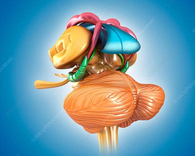 Human brain structures, illustration