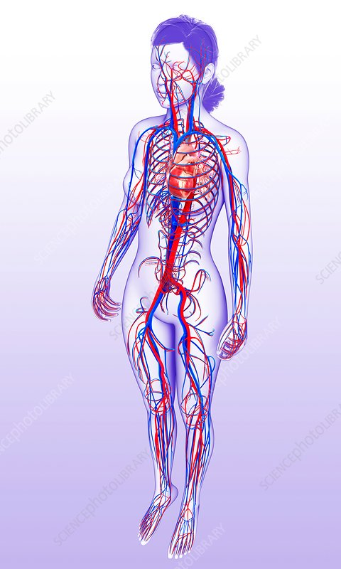 Female heart and circulatory system, illustration