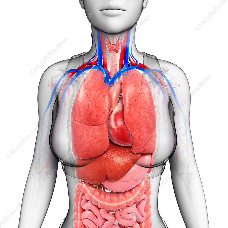 Female Body Organs Illustration Stock Image F0201116 Science