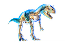 Allosaurus skeleton, illustration