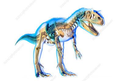 Allosaurus skeleton, illustration