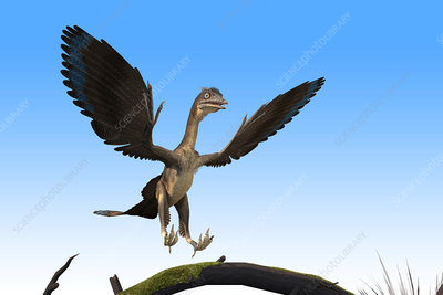 Archaeopteryx dinosaur, illustration