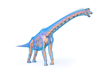 Brachiosaurus skeleton, illustration