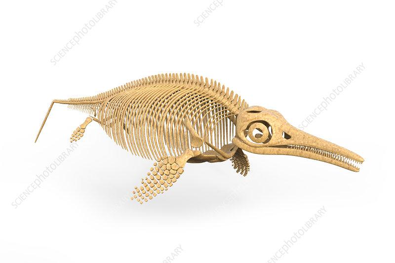 Ichthyosaurus skeleton, illustration