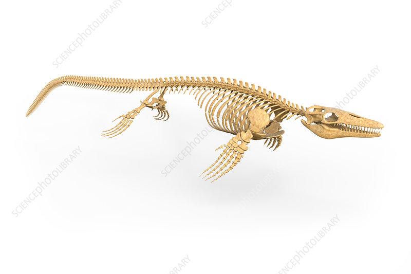 Mosasaurus skeleton, illustration