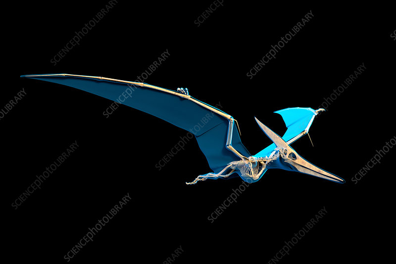 Pteranodon skeleton, illustration