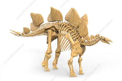 Stegosaurus dinosaur skeleton, illustration
