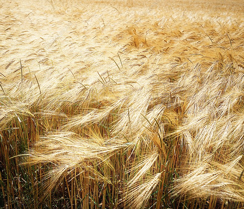 Field of wheat blowing in the wind
