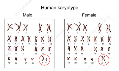 Human chromosomes, male vs female karyotype, illustration