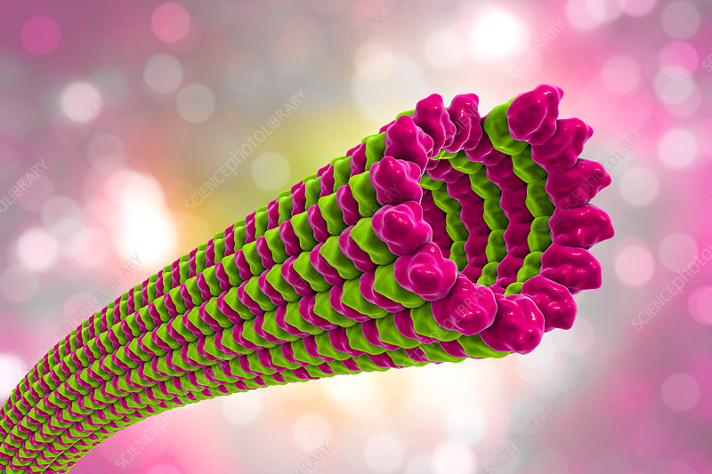 Microtubules, illustration