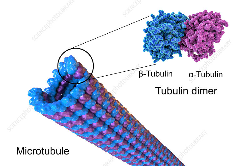 Structure of a microtubule, illustration