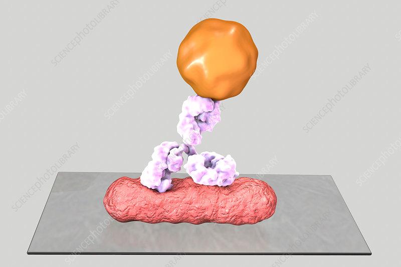 Direct immunofluorescence test, illustration