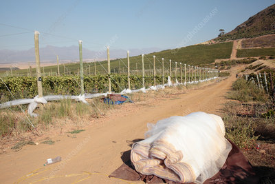 Grape vines covered with netting