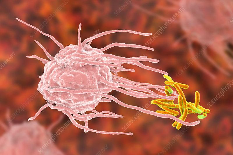 Macrophage engulfing tuberculosis bacteria, illustration