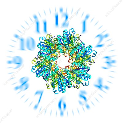 Circadian clock molecule, illustration