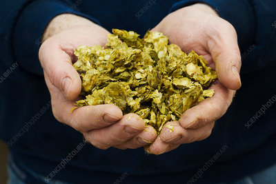 Hands holding hops, ingredient for beer