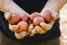 Person holding fresh brown hen's eggs