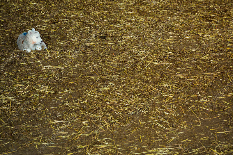 Newborn lamb on a bed of straw in stable