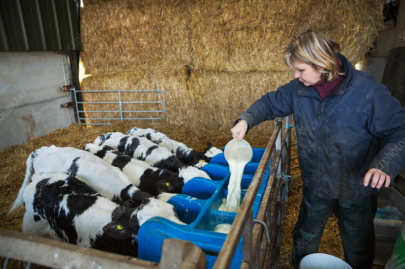 Woman filling a calf feeder in a barn