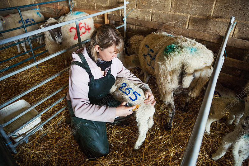 Woman painting a number on a newborn lamb