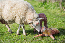A ewe licking a just new born lamb