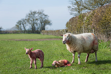 Ewe and two newborn lambs on a pasture