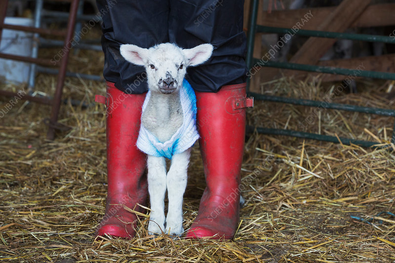 Baby lamb in a knitted jumper