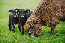 A brown sheep and two black lambs