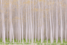 Plantation of growing poplar trees