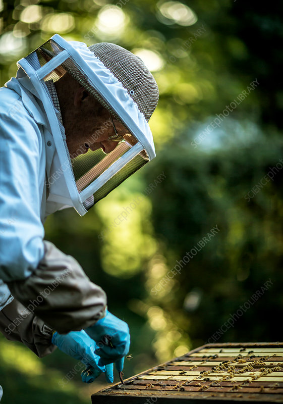 Beekeeper collects honey from the beehive