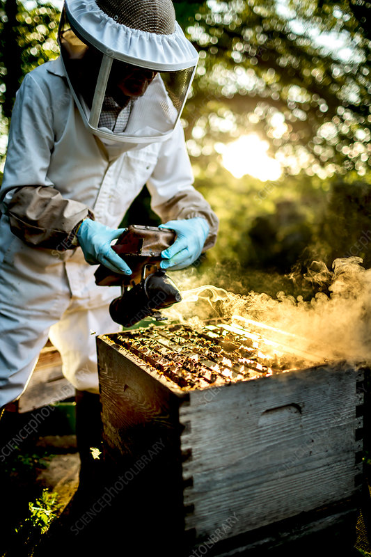 Beekeeper using a smoker at a beehive