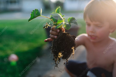 Boy in a garden holding strawberry plant